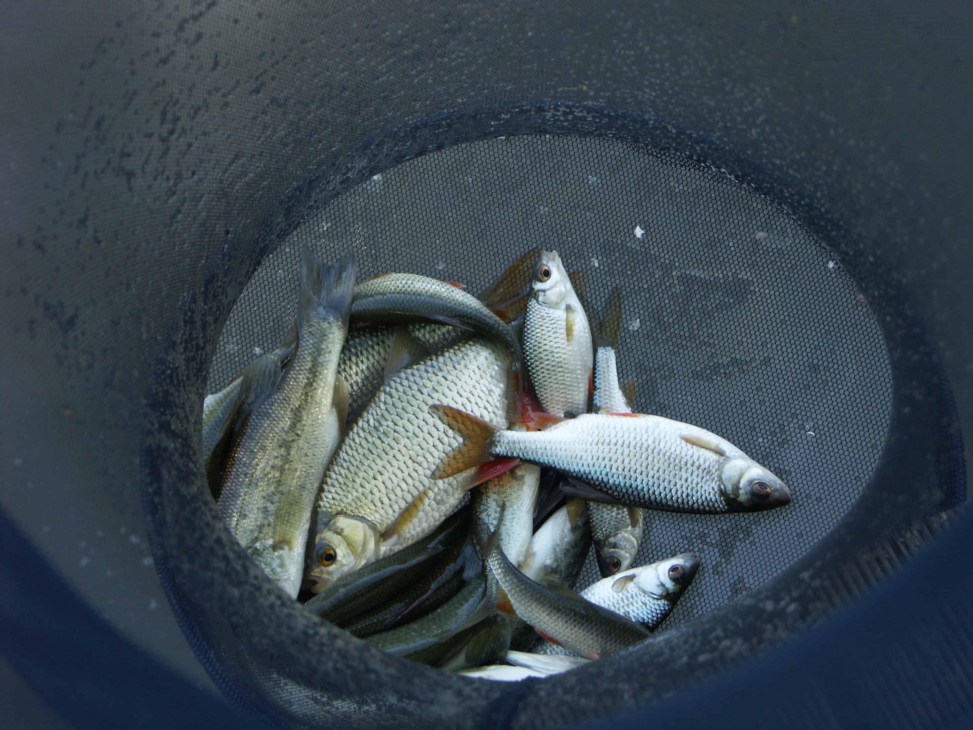 Pêche en Dordogne à la Shertane - Gardons